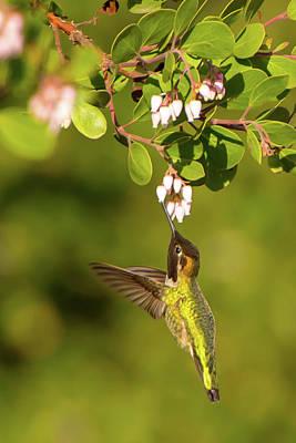 Photograph - Hummingbird And Manzanita Blossom by Paul Johnson
