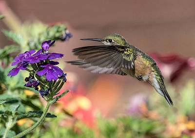 Broad Tail Photograph - Hummingbird And Purple Flower by Dawn Key