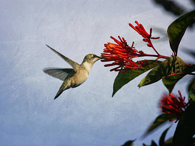 Photograph - Hummingbird And Red Flower by Charles McKelroy