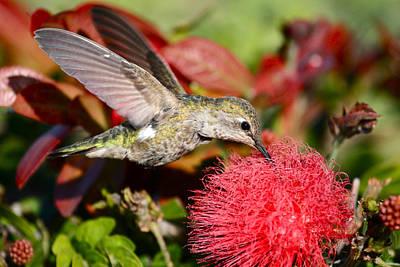 Hummingbird And Red Flower Art Print
