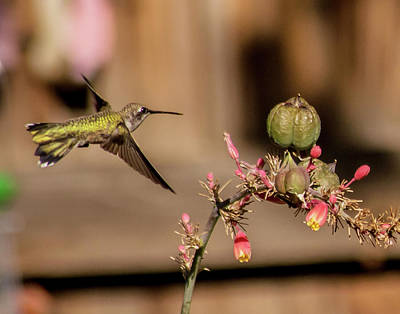 Photograph - Hummingbird And Red Yucca by Allen Sheffield