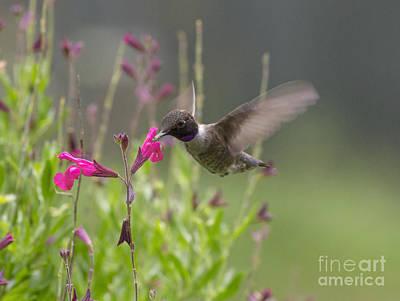 Photograph - Hummingbird And Sage by David Cutts