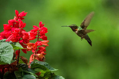 Hummingbird And Scarlet Sage Art Print