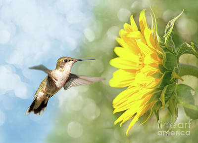 Hummingbird And Sunflower Art Print