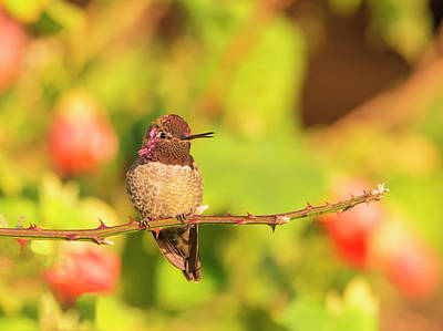 Photograph - Hummingbird And Thorns by Loree Johnson