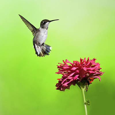 Photograph - Hummingbird And Zinnia 2 by Lara Ellis