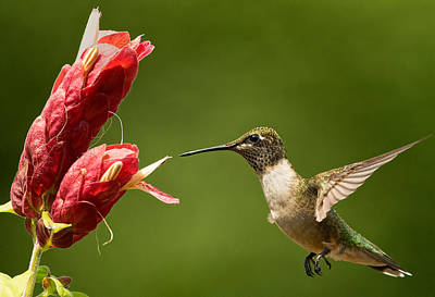 Photograph - Hummingbird Approaches Flower by William Jobes