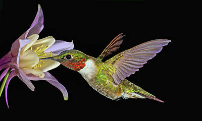 Photograph - Hummingbird Art by Richard Macquade