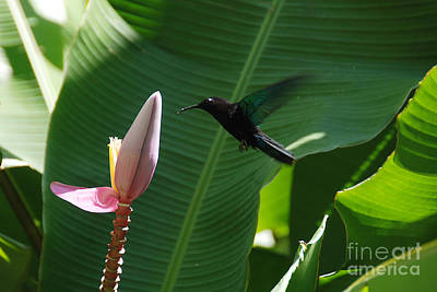 Photograph - Hummingbird At Banana Flower by Camilla Brattemark