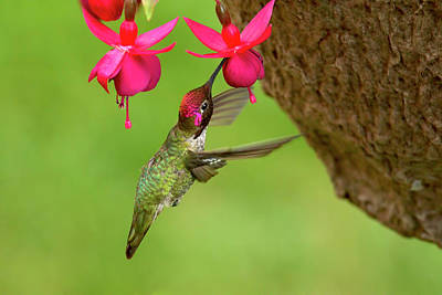 Photograph - Hummingbird At Fuchsia by Sharon Talson