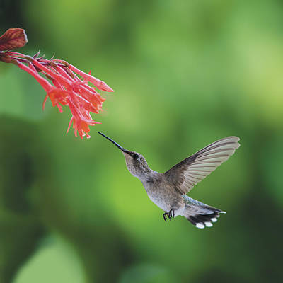 Photograph - Hummingbird At Fuscia Lady Eardrop Flower by William Bitman