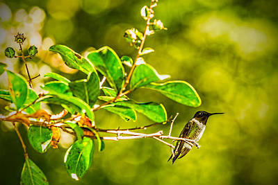 Photograph - Hummingbird At Rest by Barry Jones