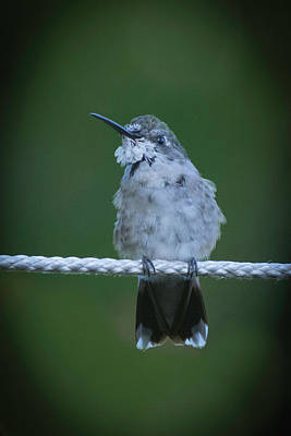 Photograph - Hummingbird At Rest by Kenneth Cole