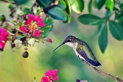 Photograph - Hummingbird At Rest by Kim Bemis