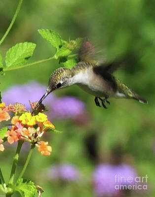 Photograph - Hummingbird At The Lantana by Lizi Beard-Ward