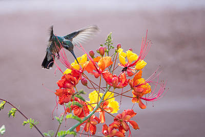 Hummingbird At Work Art Print