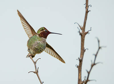 Photograph - Hummingbird Ballet by Loree Johnson