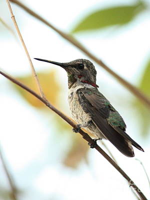 Photograph - Hummingbird Between Branches by Carol Groenen