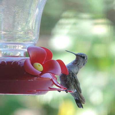 Photograph - Hummingbird Breakfast by Bill Tomsa