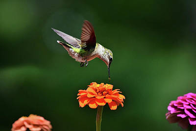 Photograph - Hummingbird Bullseye by Christina Rollo