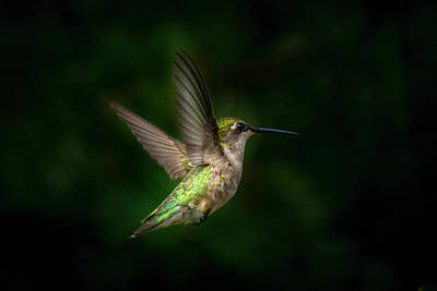 Photograph - Young Ruby Throated Hummingbird  by Kenneth Cole
