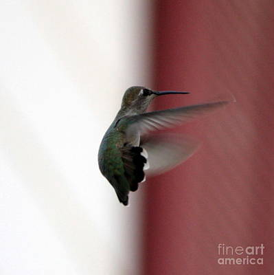 Photograph - Hummingbird Changing Course by Carol Groenen