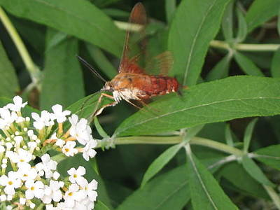 Photograph - Hummingbird Clearwing Moth by Iris Newman
