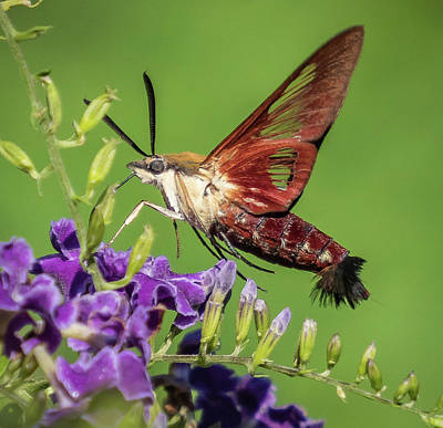 Photograph - Hummingbird Clearwing Moth by Jane Luxton