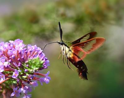 Photograph - Hummingbird Clearwing Moth by Kathy Eickenberg