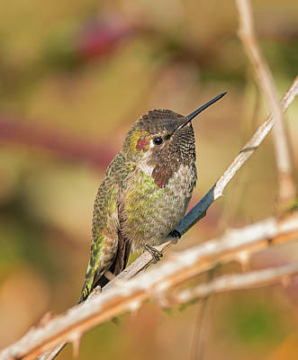 Photograph - Hummingbird Close Up by Loree Johnson