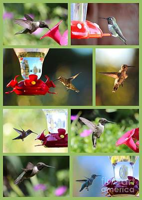 Photograph - Hummingbird Collage 2 by Carol Groenen