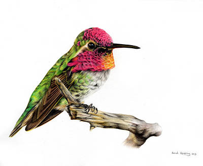 Colored Pencil Painting - Hummingbird Colour Pencil Drawing by Sarah Stribbling