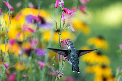 Photograph - Hummingbird Dance by Dana Moyer