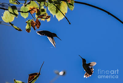 Photograph - Hummingbird Dance by Peggy Franz