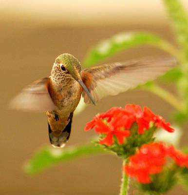 Humming Bird Wall Art - Photograph - Hummingbird by Don Wolf