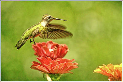 Florescent Lighting Photograph - Hummingbird Drinking From Zinnia by Geraldine Scull