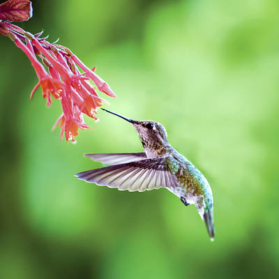 Photograph - Hummingbird Drinking Nectar At Fuscia Lady Eardrop by William Bitman