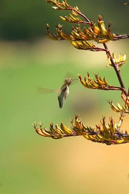 Photograph - Hummingbird Drinking Nectar by Jill Reger
