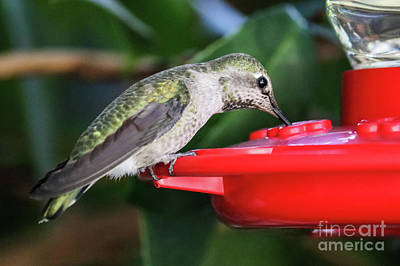 Photograph - Hummingbird Drinking Nectar by Suzanne Luft