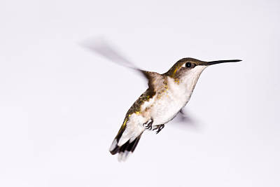 Hummingbird Art Print by Edward Myers