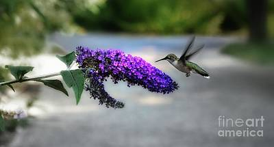 Photograph - Hummingbird by Elaine Manley