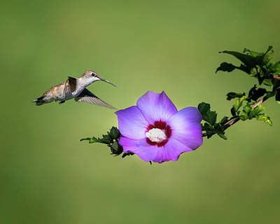 Floral Photograph - Hummingbird Elegance by Bill Wakeley