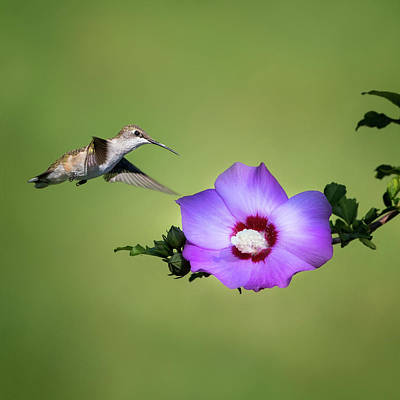 Single Flower Photograph - Hummingbird Elegance Square by Bill Wakeley