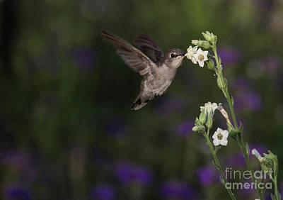 Photograph - Hummingbird Enjoying Flowers by Ruth Jolly