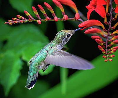 Photograph - Hummingbird Feeding by Athena Mckinzie