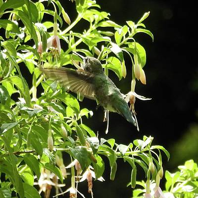 Photograph - Hummingbird Feeding by Brian Chase