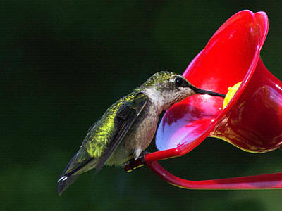 Photograph - Hummingbird Looking For Food by Kenneth Cole