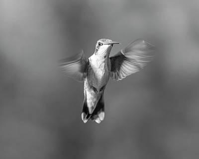 Birds Rights Managed Images - Hummingbird Flight Royalty-Free Image by Betsy Knapp