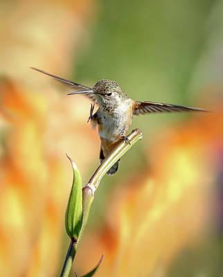 Photograph - Hummingbird Flutter by Athena Mckinzie