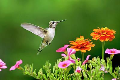 Hummingbird Flying With Flowers Art Print
